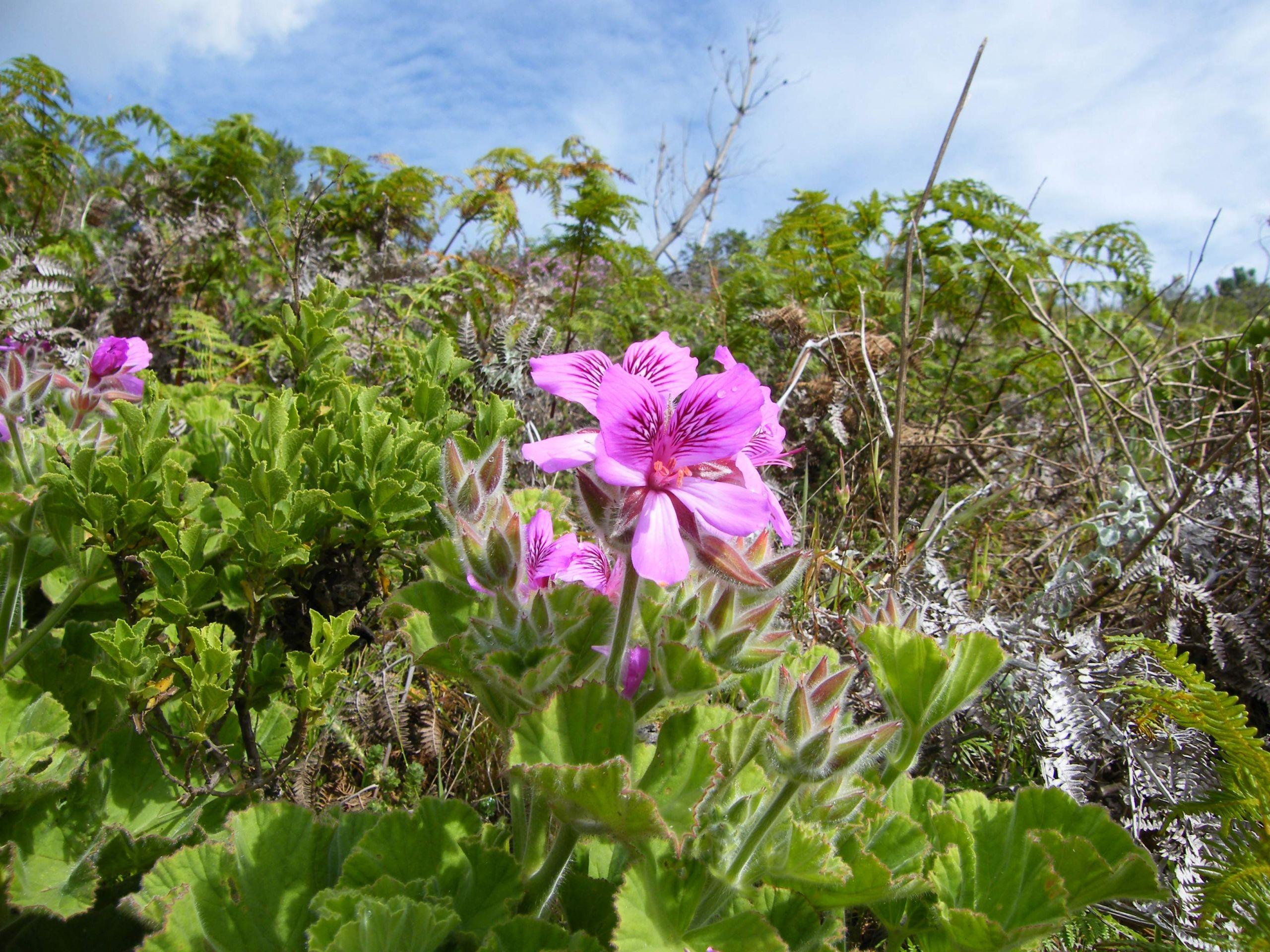 Pelargonium cucullatum Contour Path Rhodes Mem JPG