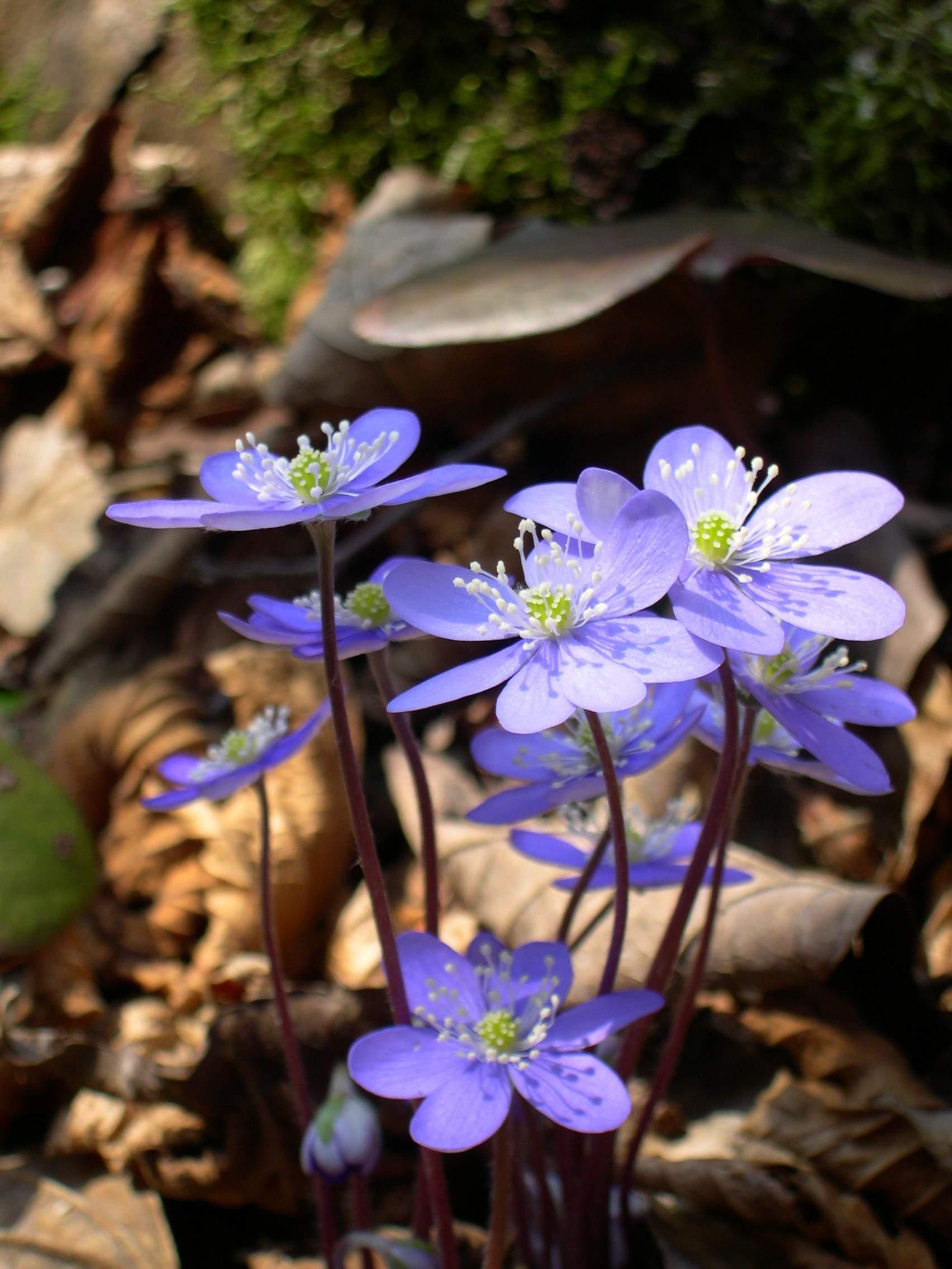 Hepatica nobilis flowers JPG