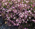 Garten Bodendecker Elegant Zwerg Schleierkraut Rosea Gypsophila Repens Rosea Das