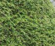 Garten Bodendecker Inspirierend Teppichmispel Coral Beauty
