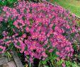 Garten Bodendecker Schön Kissen aster Rosa