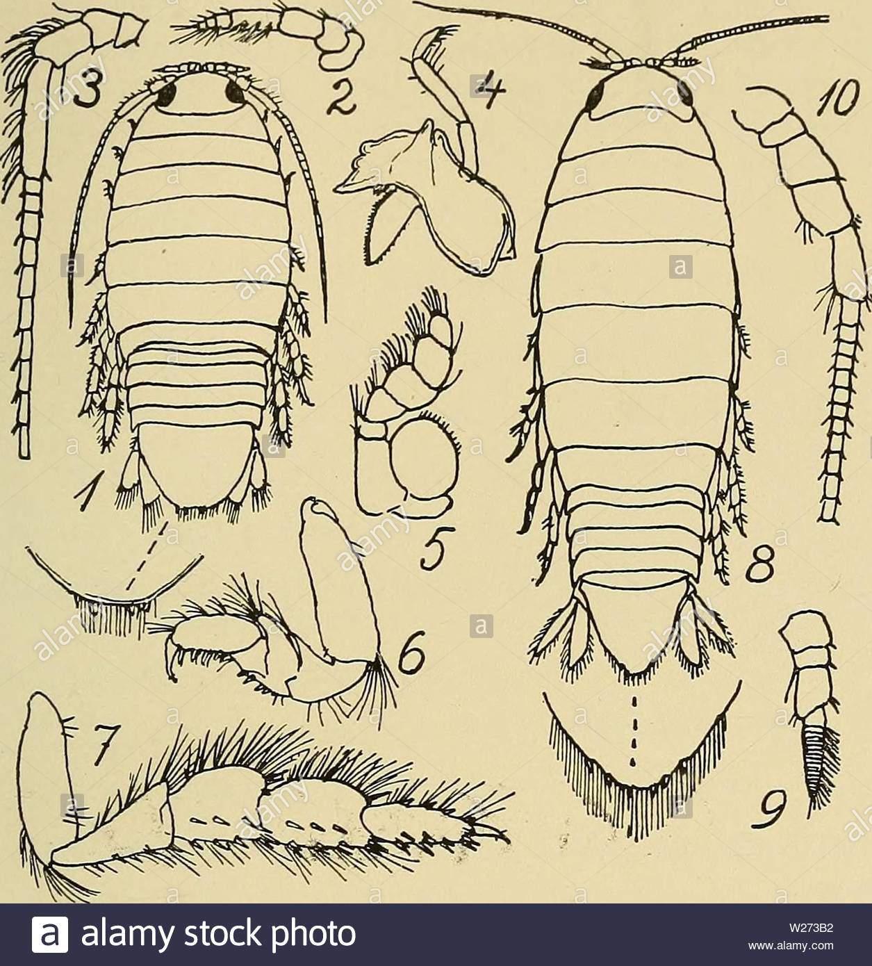 archiv bild von seite 36 der danmarks fauna illustrerede haandbger uber danmarks fauna illustrerede haandbger uber den danske dyreverden danmarksfaunaill 53 dans jahr 1907 33 mer godt th mortensen 1921 skriver om eurydices og amphipoden bathyporeias forekomst ved danske sand strande bei begge ehemalige ses losgibst naar ved vandet ind abb 61 7 eurydice pulchra 1 2 3 1 2 flehorn 4 art bakke 5 kaebefod 6 7 1 og 7 kropben 8 10 cirolana borealis 8 9 10 1 2 flehorn sidstnaevntes svbe afkortet efter sars traedende hjvande stiger ganske jaevnt w273b2