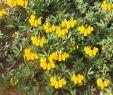 Garten Gezemaneh Elegant israel Kreta Hornklee Lotus Creticus In Blüte Allerdings