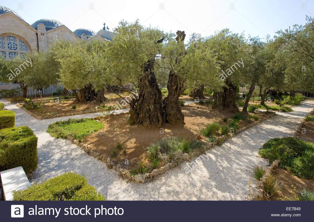 alte olivenbaume im garten semani am olberg in jerusalem der garten hsemane befindet sich neben der kirche ee7b49