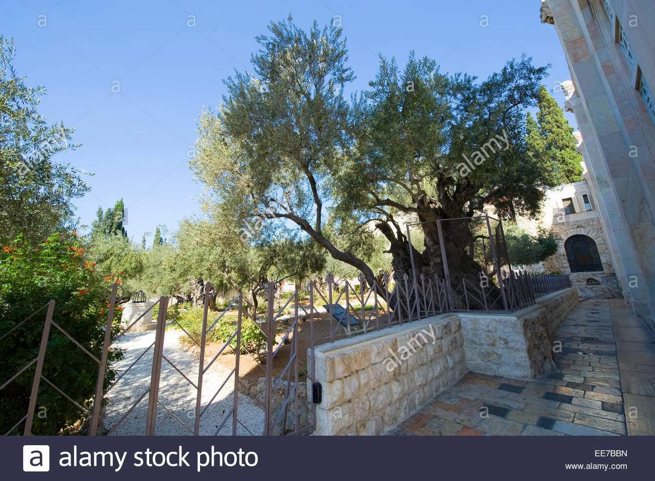 alte olivenbaume im garten semani am olberg in jerusalem der garten hsemane befindet sich neben der kirche ee7bbn