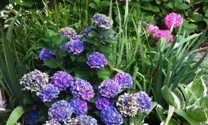 37 Schön Garten Hortensie Inspirierend