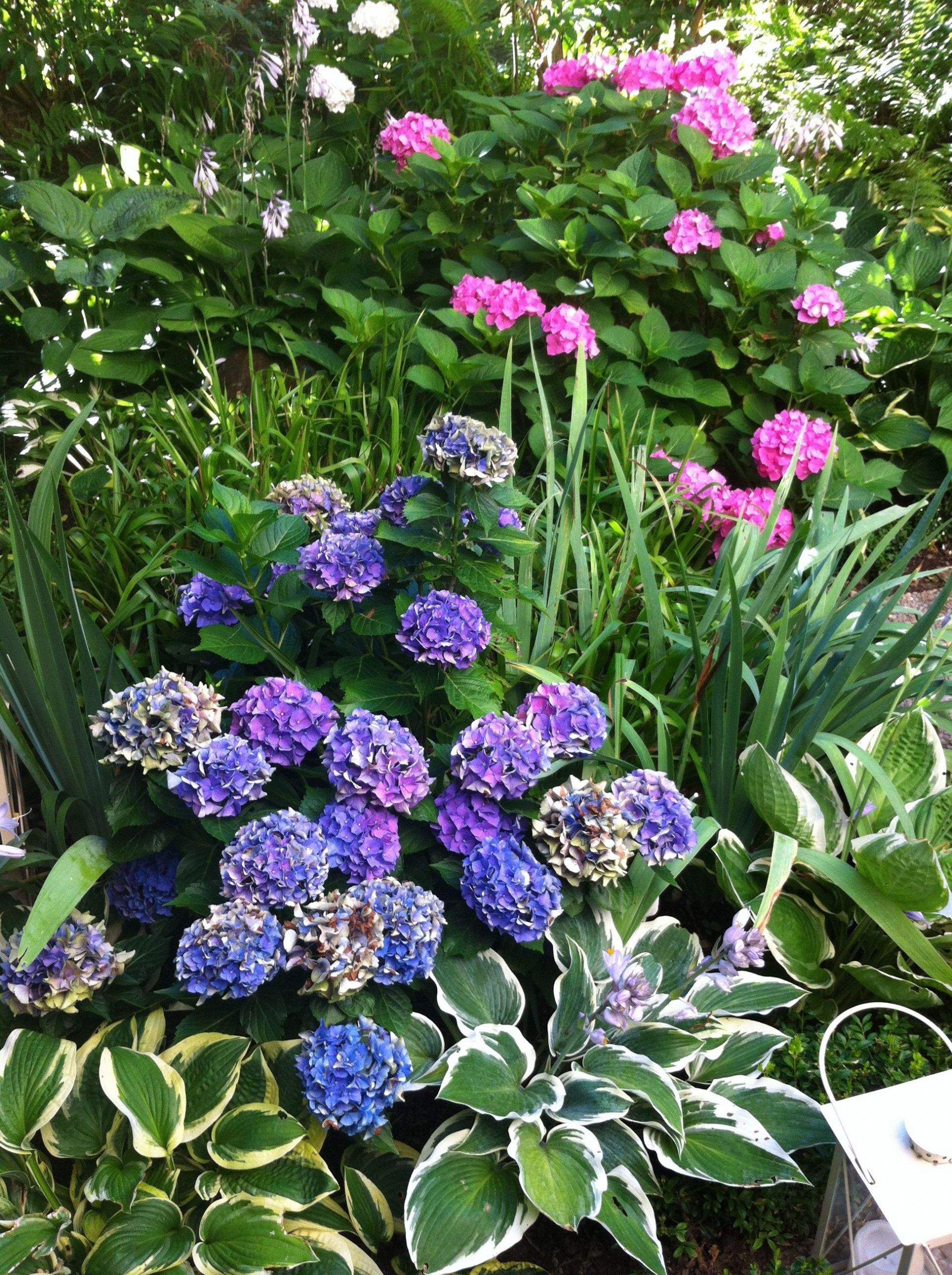 Garten Hortensie Einzigartig Funkie Und Hortensie Ein Ideales Paar
