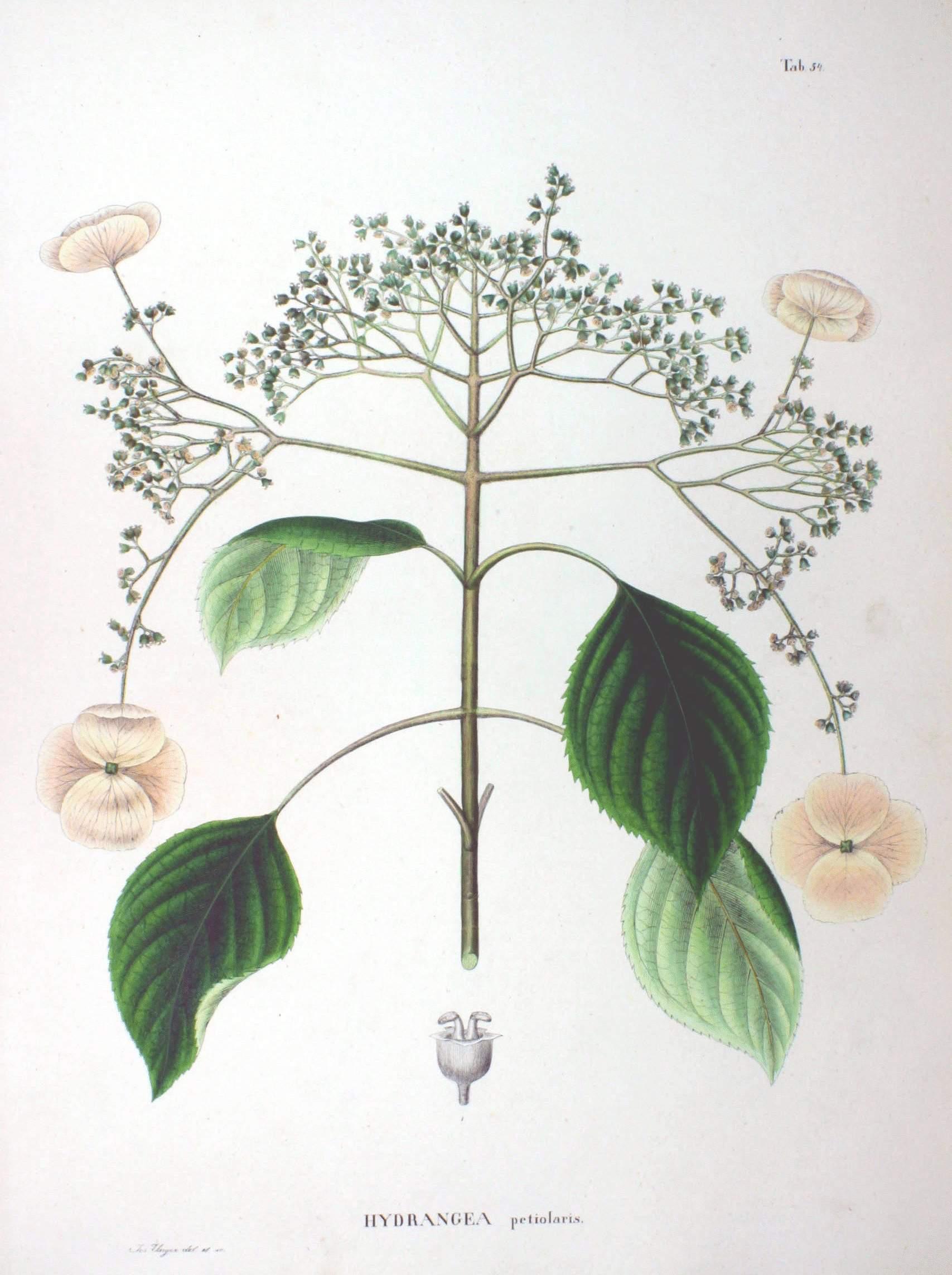 Hydrangea anomala ssp petiolaris SZ54