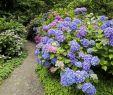 Garten Hortensie Elegant Pin Auf Hortensien