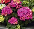 Garten Hortensie Frisch Hortensie Pink Pop