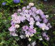 Garten Hortensie Frisch Hydrangea ´preziosa´ Laubgehölze sortiment Shop