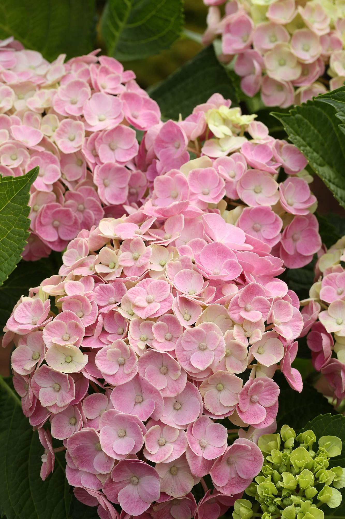 Hydrangea macrophylla Forever Ever Pink 1S1B3872