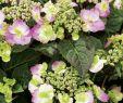 Garten Hortensie Schön Blütensträucher Und Ziergehölze