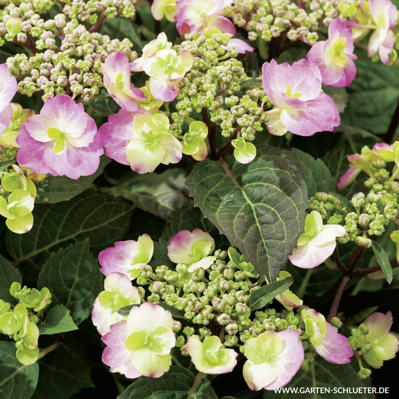 1 Tellerhortensie Cotton Candy Hydrangea serrata Cotton Candy 1280x1280
