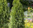 Garten Im Winter Reizend Abendländischer Lebensbaum • Thuja Occidentalis