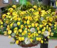 Garten Margerite Einzigartig Clematis Schling & Kletterpflanzen