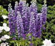 Garten Margerite Einzigartig Edel Ritters Blau