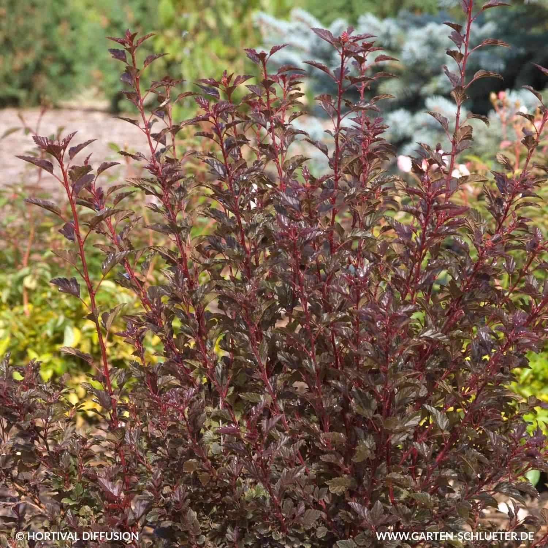 1 Fasanenspiere Little Devil Physocarpus opulifolius Little DevilHG1m4qMArzWtb 1280x1280 2x