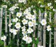 Garten Margerite Einzigartig Herbst Anemonen Weiß