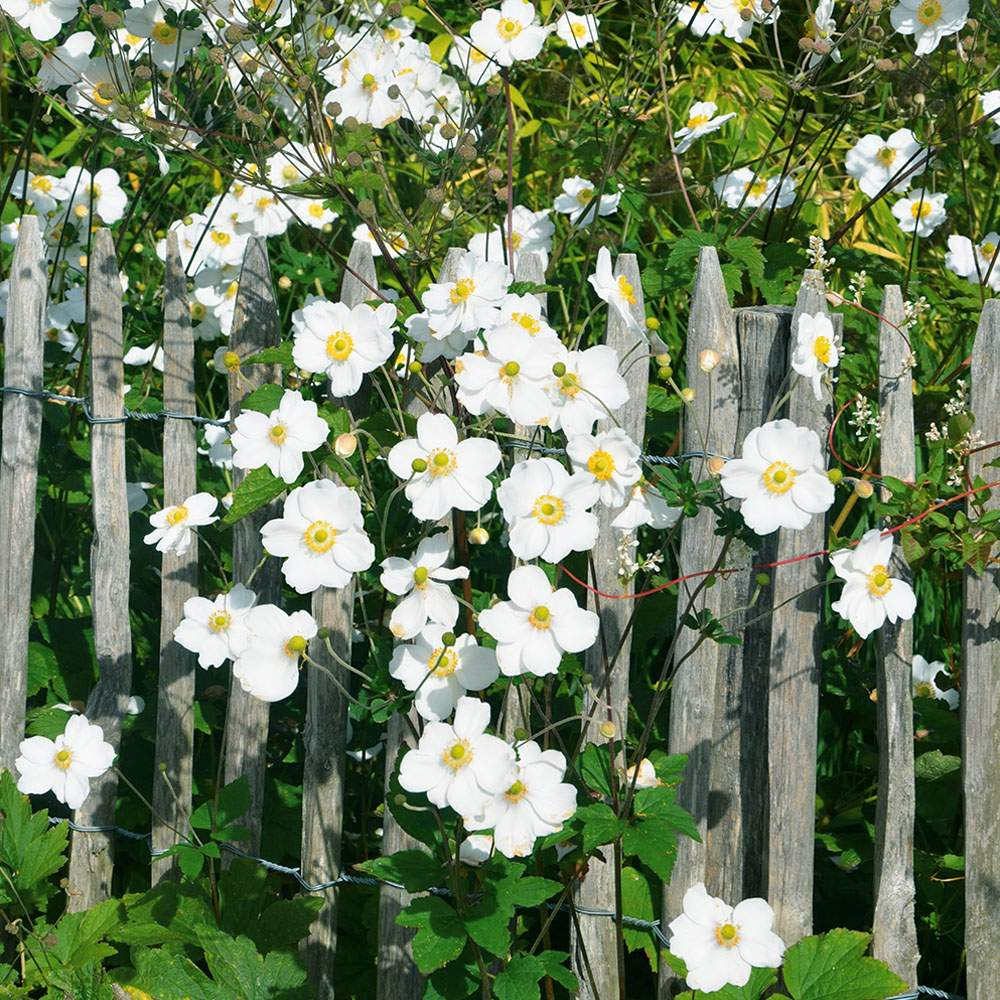 herbst anemone weiss 1000x1000 1
