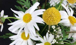 40 Das Beste Von Garten Margerite Elegant