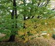 Garten Margerite Inspirierend Lebkuchenbaum Kuchenbaum Katsurabaum Judasblattbaum Cercidiphyllum Japonicum