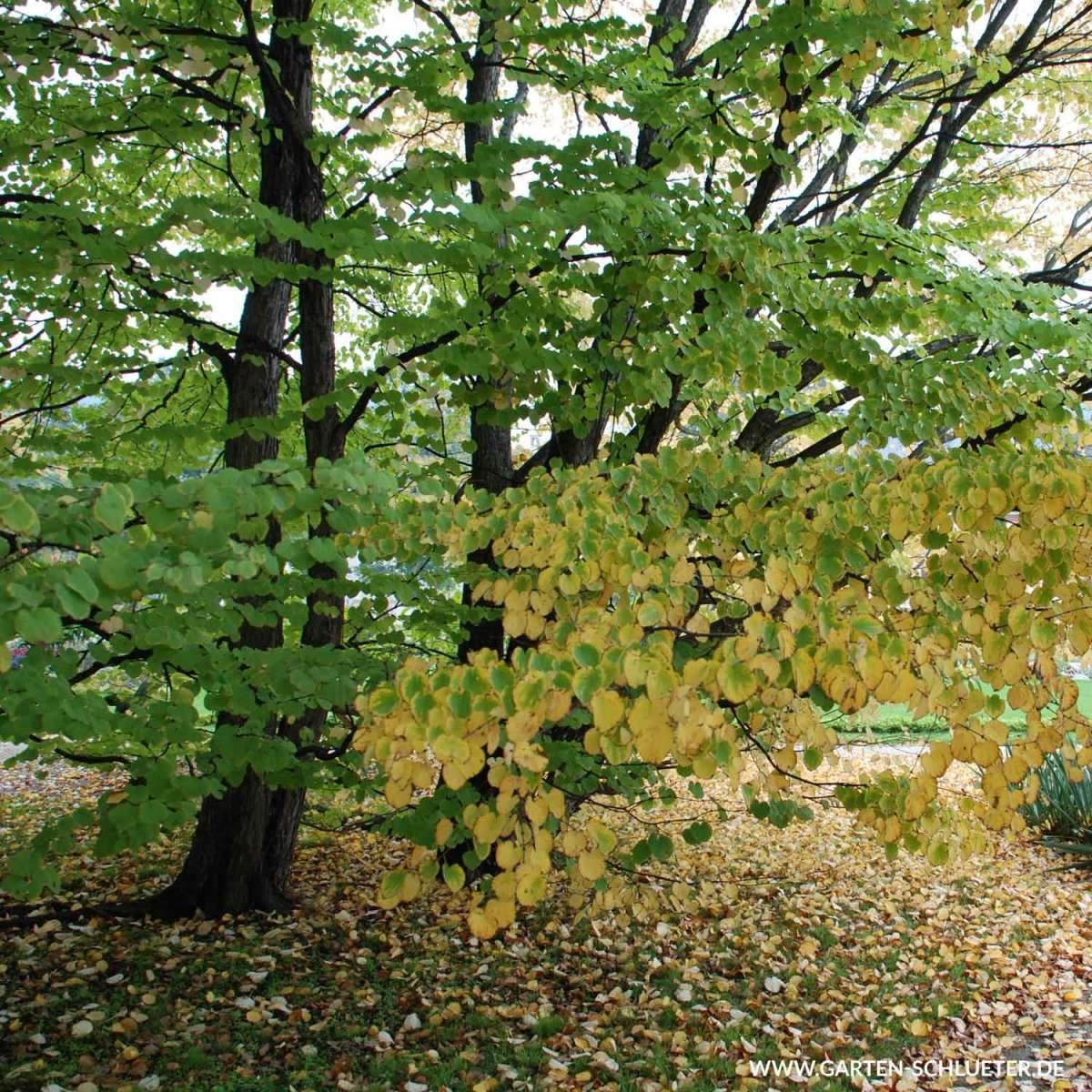 1 Lebkuchenbaum Kuchenbaum Katsurabaum Judasblattbaum Cercidiphyllum japonicum 600x600 2x