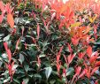 Garten Moorriem Inspirierend Photinia Red Robin Glanzmispel Red Robin