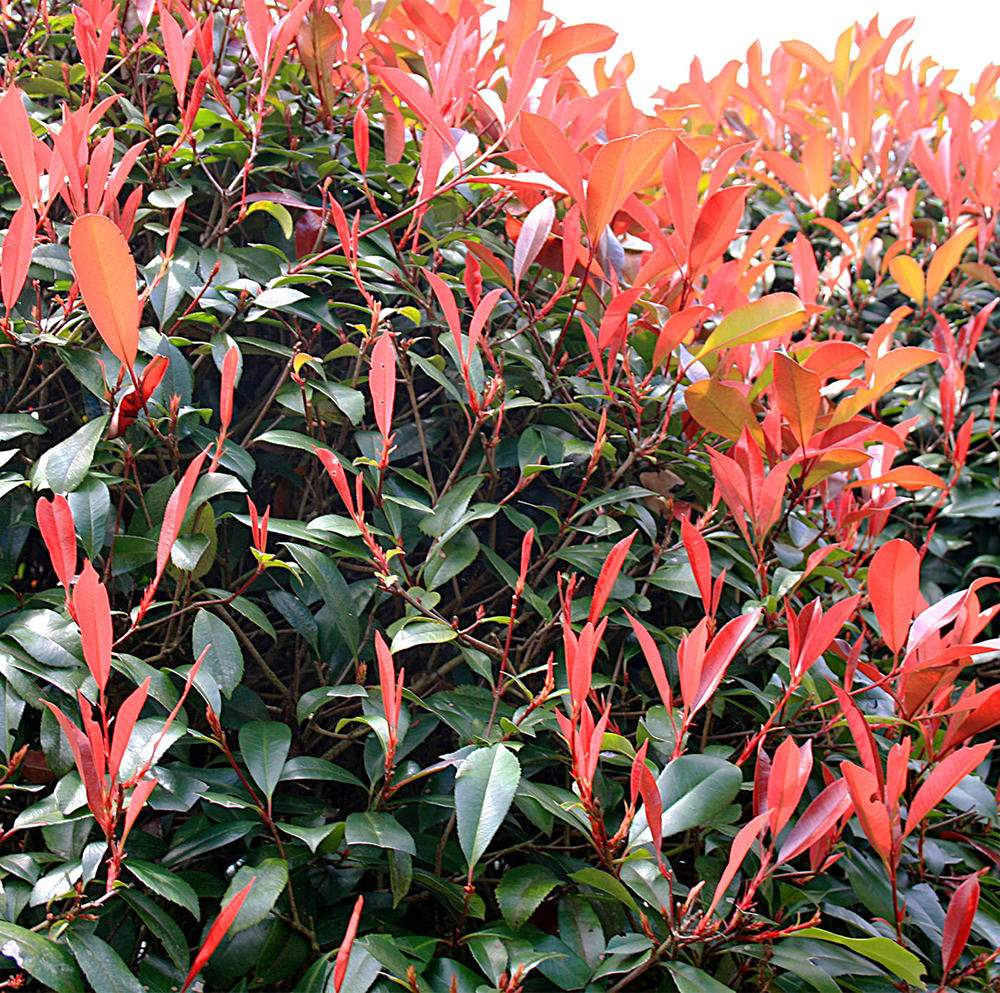 glanzmispel photinia fraseri red robin photinia red robin2WTYREt9Npz6i
