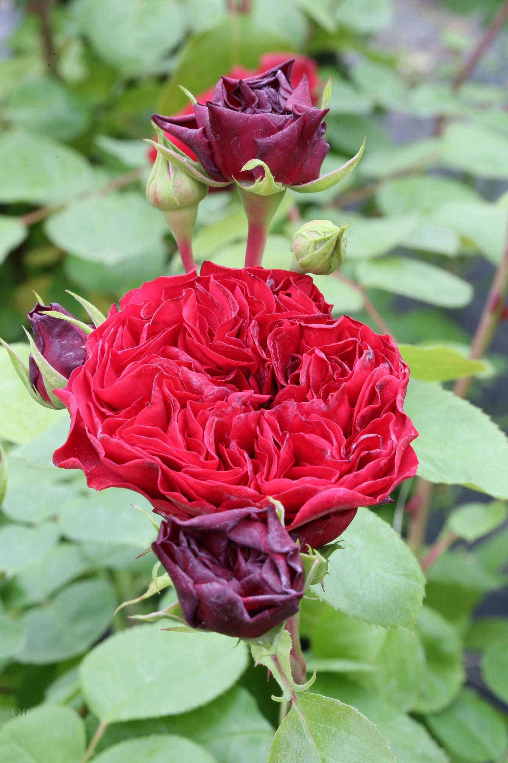 Rosa Red Leonardo da Vinci R 1S1B6311
