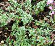 Garten Pflanzen Winterhart Inspirierend Kümmelthymian Thymus Herba Barona