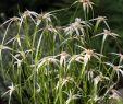 Garten Pflanzen Winterhart Inspirierend Sternengras Sternentänzer™