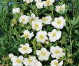 Garten Pflegeleicht Neu Fingerstrauch Snowbird Potentilla Fruticosa Snowbird