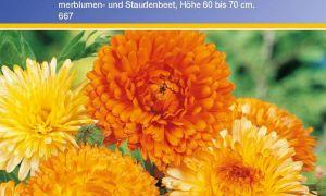 37 Luxus Garten Ringelblume Schön