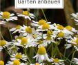 Garten Ringelblume Schön Kamille Die Königin Der Heilkräuter
