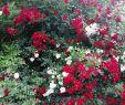 Garten Rosen Einzigartig Rote Rosen ❤️ Gemischt Mit Den Weißen Wirkt Es Gleich Viel