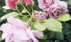 39 Schön Garten Rosen Inspirierend