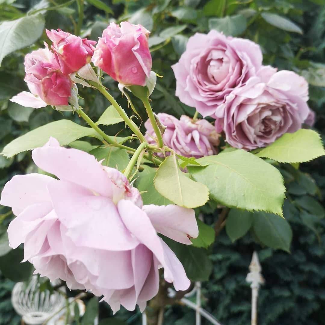 Garten Rosen Elegant Und Wieder Neue Blüten 😀 Rosen Roses Rose Garten