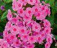 Garten Rosen Frisch Edelphlox Adessa Rose Eye Phlox Paniculata Adessa Rose Eye