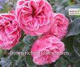 Garten Rosen Inspirierend Winterschutz Rosen Richtig überwintern