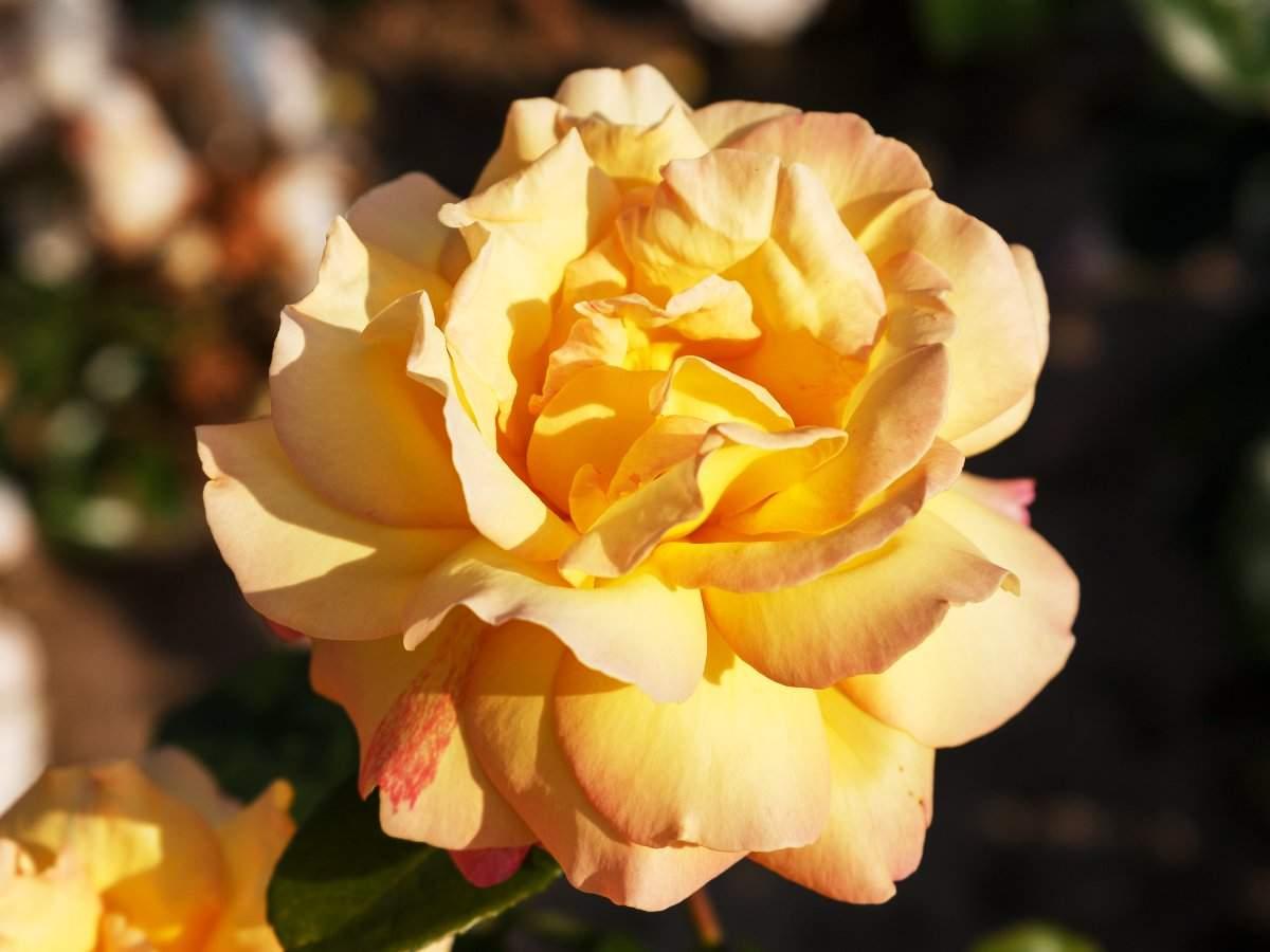 edelrose gloria dei rosa gloria dei rosa gloria dei4gAXnOlYK0dye