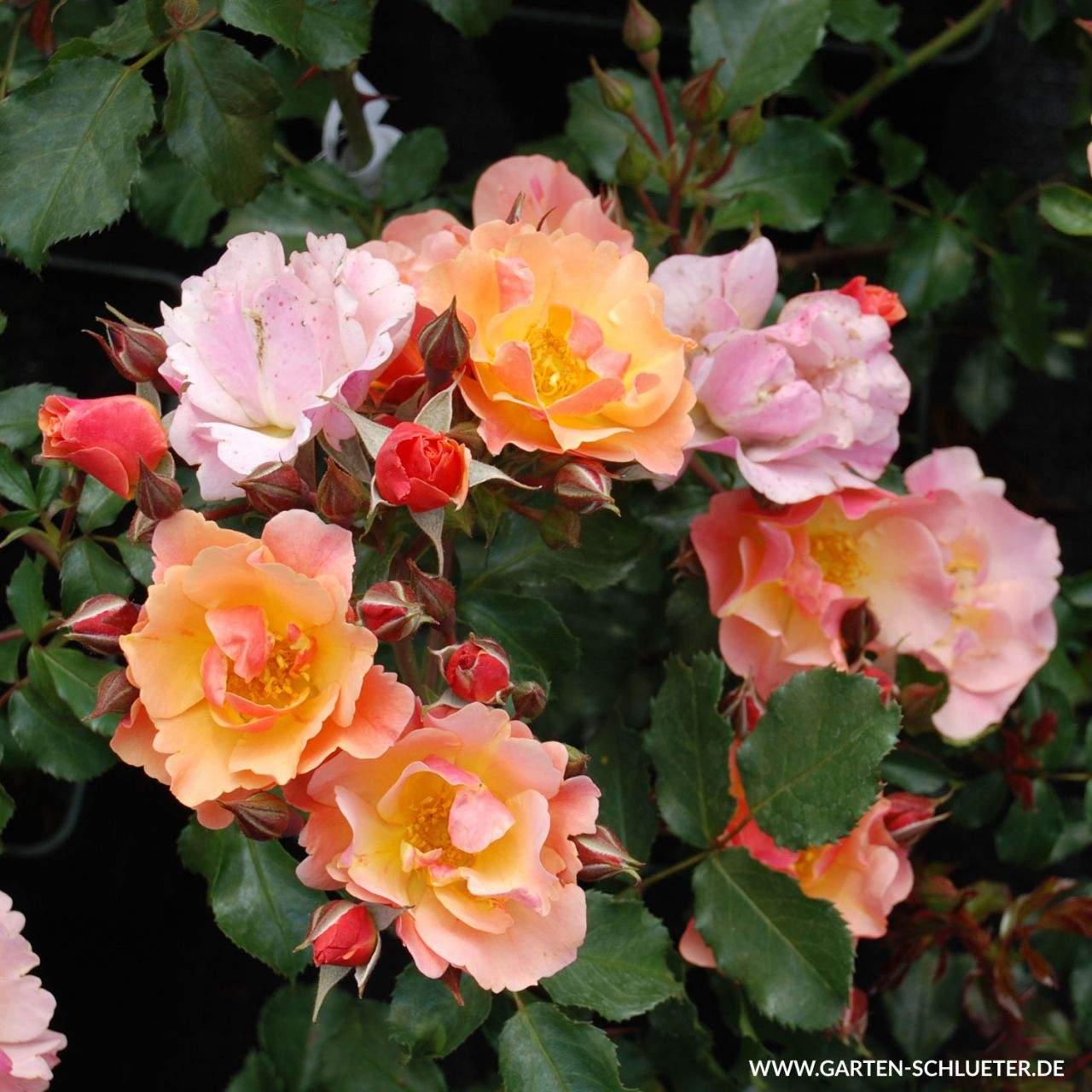 10 Bodendeckerrose Jazz Rosa Jazz 1280x1280
