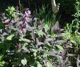 Garten Salbei Schneiden Elegant Salbei Purpurascens Salvia Officinalis Purpurascens