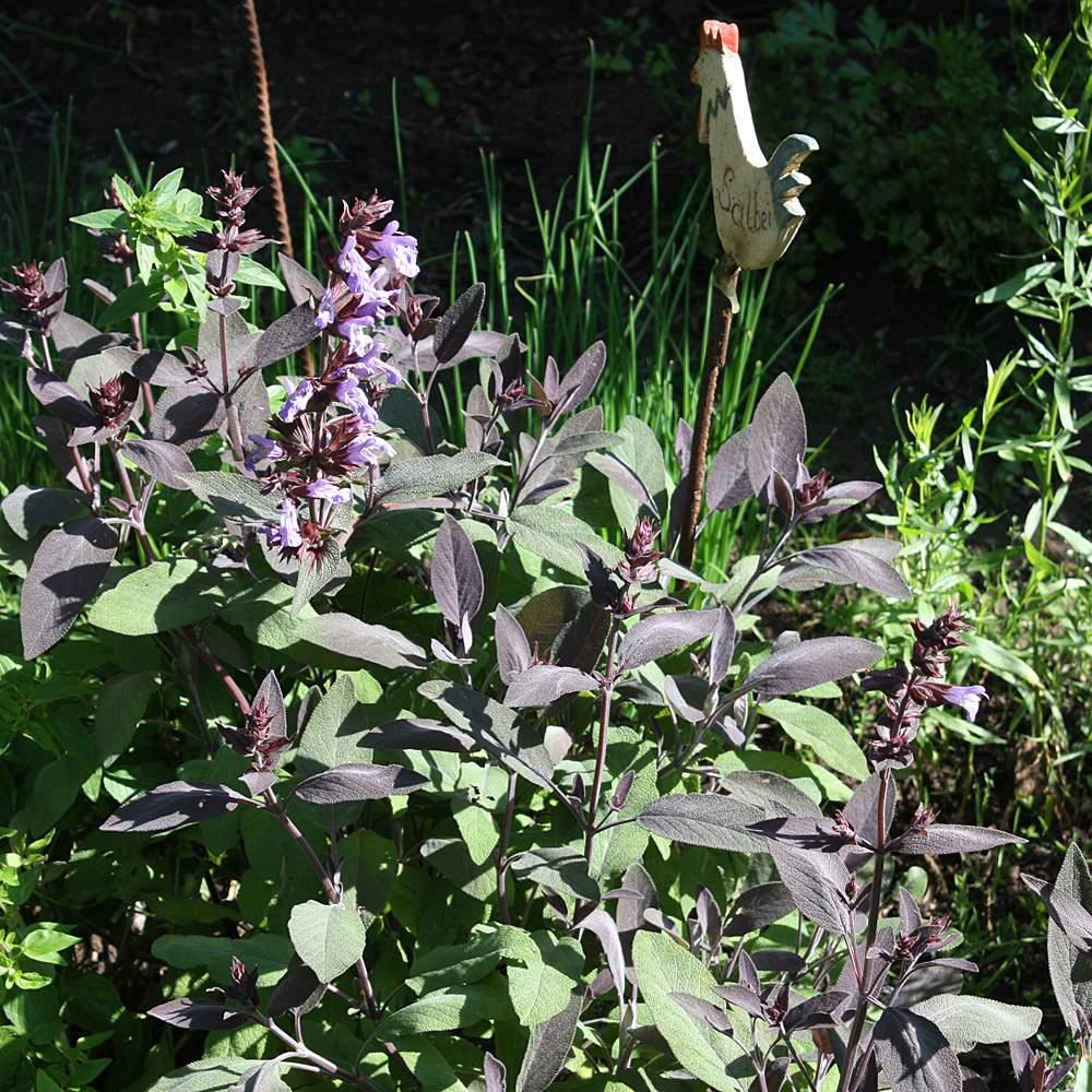 Salvia Purpurascens zwei