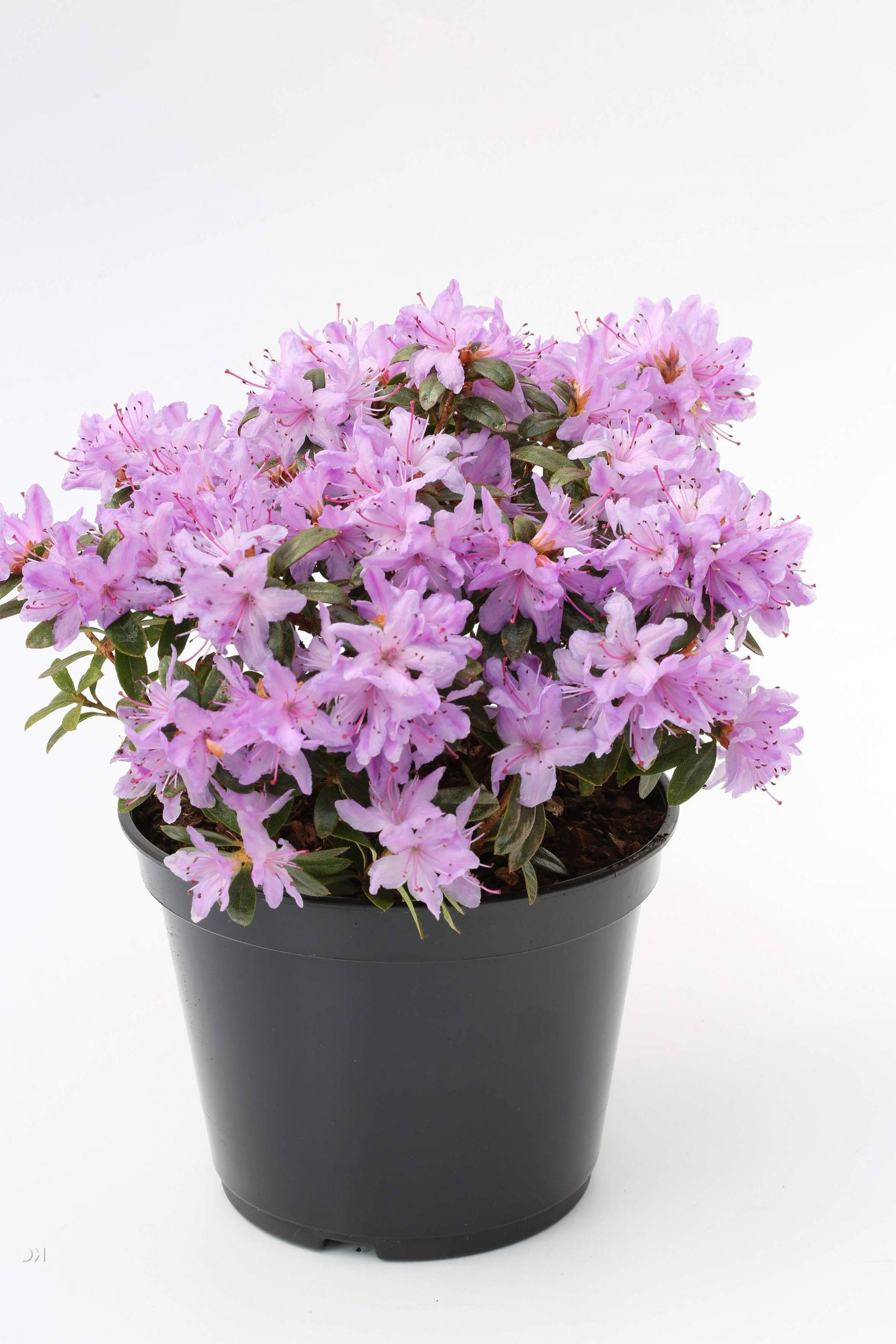 Rhododendron impeditum Moerheim 1S1B9592