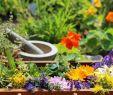 Garten Salbei Schneiden Reizend Kräuter Samen Chili Zucht