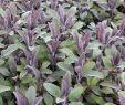 Garten Salbei Schneiden Schön Salbei Purpurascens Salvia Officinalis Purpurascens