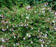 Garten Shop 24 Einzigartig Großblumige Abelie Pinky Bells Abelia Grandiflora Pinky Bells