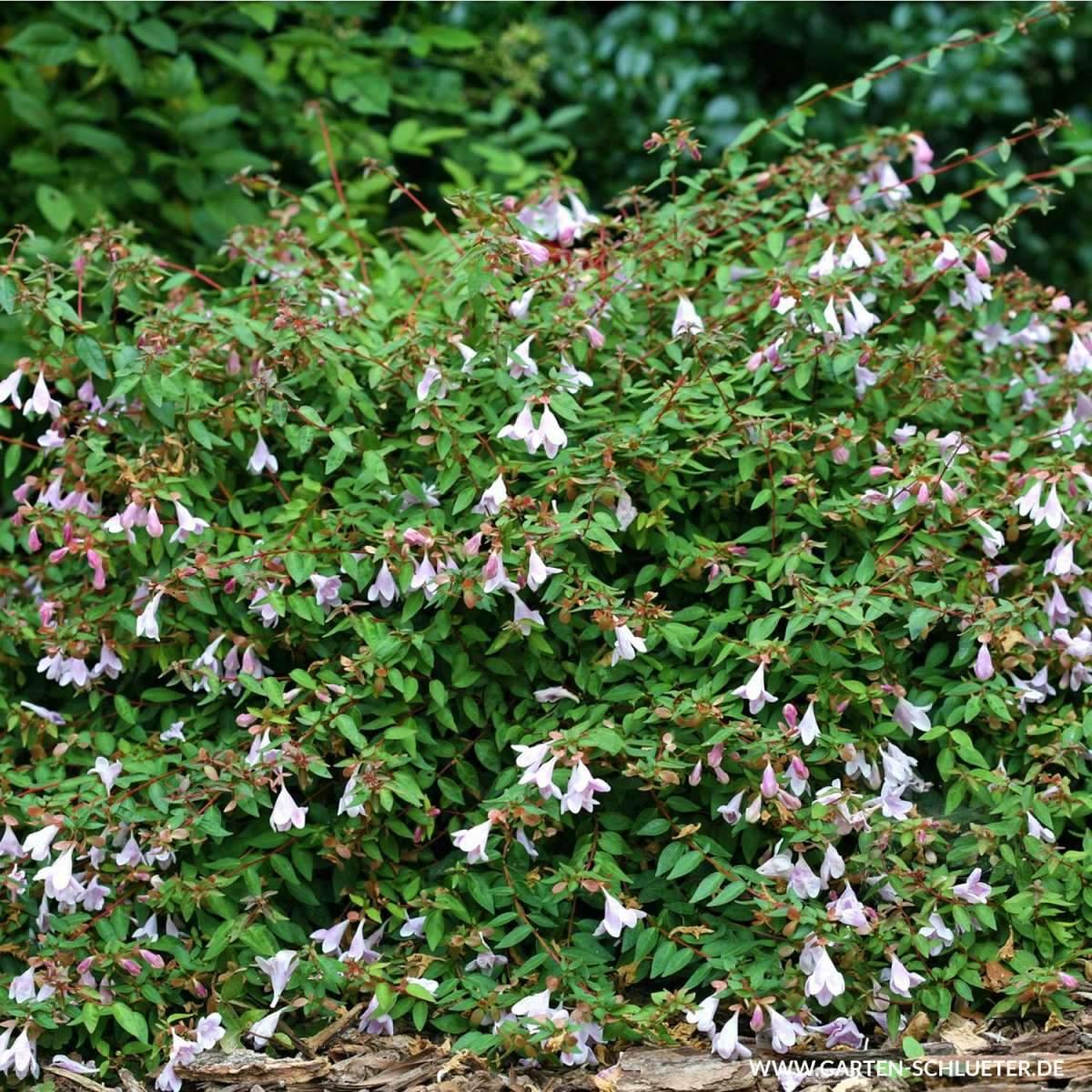 1 Grossblumige Abelie Pinky Bells Abelia grandiflora Pinky Bells 600x600 2x