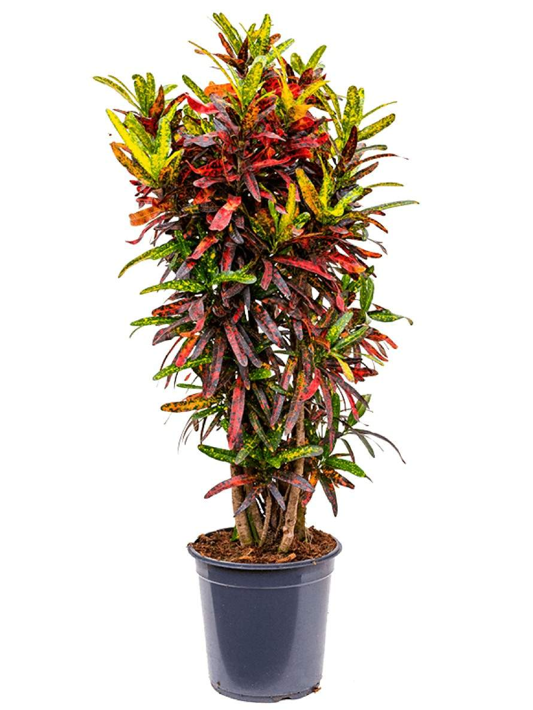 Croton real batic 90cm 4CORBVT24
